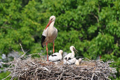 Stork with its baby bird Stock Photography