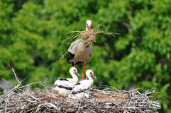 Stork with its baby bird Royalty Free Stock Photos