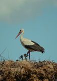 Stork with its children. A nice view of a stork family with newborn babies Royalty Free Stock Images