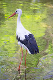 A stork in its natural habitat Stock Image