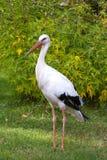 Stork in its natural habitat Royalty Free Stock Photos