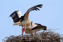 Stork in its nest. Over a clear blue sky Royalty Free Stock Photography