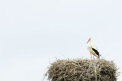 Stork in its nest Stock Photo