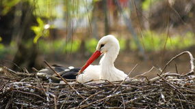 Stork in its nest Stock Image