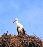 Stork in its nest over a clear blue background Stock Image