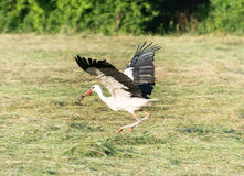 Stork with its Prey Stock Photography