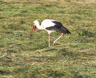 Stork with its Prey Royalty Free Stock Photos