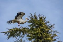 Stork with its wings outstretched in a pine. Stork making balance with its wings on the top of a pine stock photos