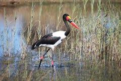 Stork Jabiru hunting in the swamp, saddle billed stork Stock Image