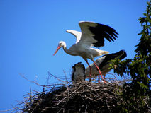 Stork just landed Stock Photos