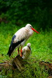 Stork with  juvenile in nest on ground Royalty Free Stock Photography