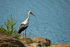 Stork at a lake border Stock Photo