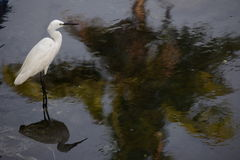 Stork at lake. The patience with which a stork hunts its prey by the lakeside is phenomenal. The reflection of both the stork and a coconut palm has fallen on Stock Photo