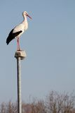 Stork on a lamp. Stork that has stayed in Europe despite the cold winter, standing on a streetlamp with lots of space for your text Stock Photo