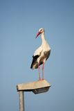 Stork on a lamppost Stock Photography