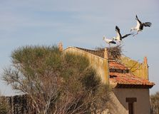 Stork landing Royalty Free Stock Image