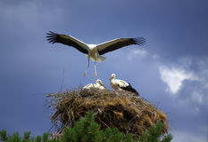 Stork landing its nest. Wings outstretched to protect his family.July 11 th,2014.Bulgaria Stock Images