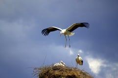 Stork landing its nest Royalty Free Stock Image