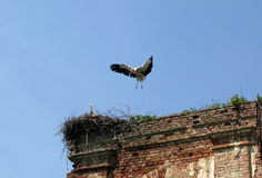 Stork landing in a nest Stock Photo