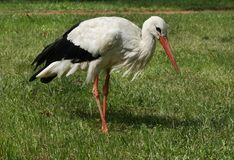 Stork on the lawn Stock Photos