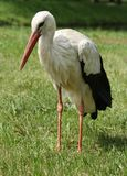 Stork on the lawn Royalty Free Stock Images