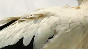 Stork from legs to beak pan, closeup shot. Stock footage stock video