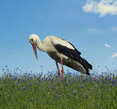 Stork on the light green grass background Stock Photos