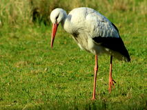 Stork looking down Royalty Free Stock Images