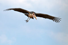 Stork marabou flies in the blue sky Royalty Free Stock Images