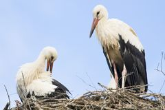 Stork mates sitting on nest. In Romania stock images
