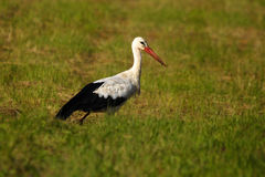 Stork on the meadow Royalty Free Stock Image
