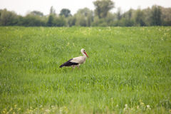 Stork on a meadow. White stork hunting in a meadow Royalty Free Stock Images