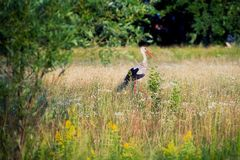 Stork on the meadow Stock Photo