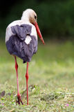 Stork on the meadow Stock Images