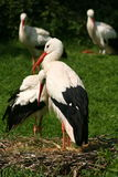 Stork meadow royalty free stock photo