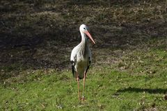 Stork on Meadow Stock Images