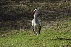 Stork on Meadow Royalty Free Stock Photo