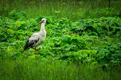 Stork on a meadow. Royalty Free Stock Image