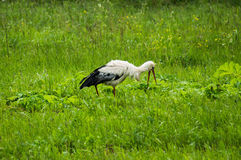 Stork on a meadow. Stock Photos