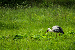 Stork on a meadow. Storks — the genus of birds from the order Ciconiiformes. The food of storks consists of fish, frogs, lizards, snakes, snails royalty free stock photo