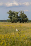 Stork on the meadow Stock Image