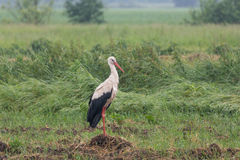 Stork in the meadow in summer. Lonely stork on a summer meadow royalty free stock images