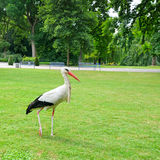 Stork on the meadow Royalty Free Stock Photos