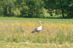 Stork on the meadow Royalty Free Stock Photo