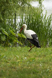 Stork in the meadow Stock Photos