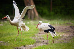 Stork on a meadow Stock Photos