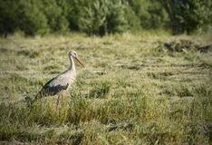 Stork on a meadow Stock Photo