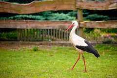 Stork in a meadow. White stork in profile walking across a grassy area with a wooden fence and greenery in the background Royalty Free Stock Images