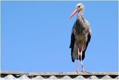 Stork med ett lamslagit ben Arkivfoton