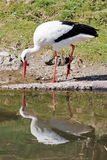 Stork mirroring in the water Stock Image